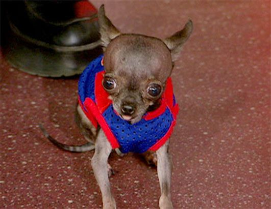 Ducky is the planet's smallest dog by height, according to the Guinness Book of World Records. The 2½-year-old 1.4 pound chihuahua is just 4.9 inches tall.