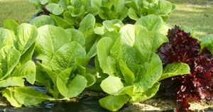 Romaine Lettuce Growing In Containers Niceville Fl