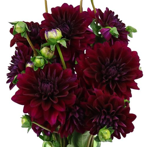 Burgundy Berry Dahlia Flower Fiftyflowers Com Wholesale Flowers Buying Wholesale Flowers Dahlia Flower