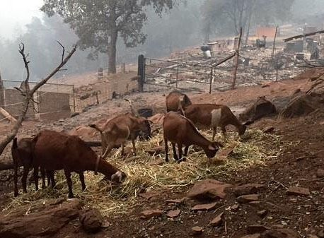 ABC7 News Sergio Quintana tweeted this photo of goats that survived the Valley Fire. Fortunately Hidden Valley Lake neighbors nearby were able to feed them. Go to ABC7 News for the full story and a list of resources. #ValleyFire #NapaCounty #LakeCounty #abc7news by abc7newsbayarea