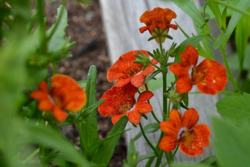 Немезия - Мой сад