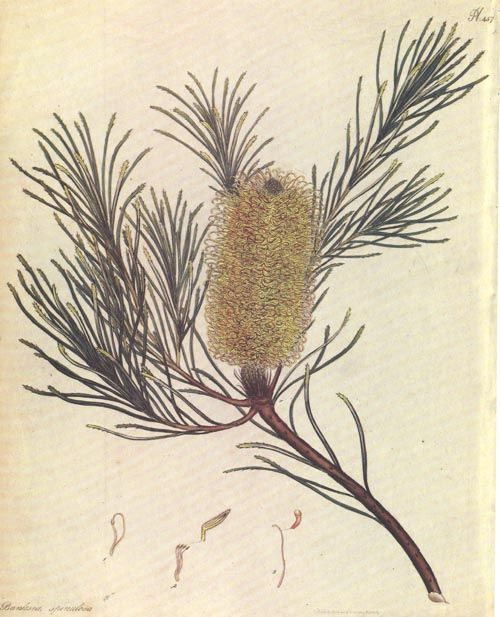 Australian Banksia spinulosa. Banksia illustration by ...