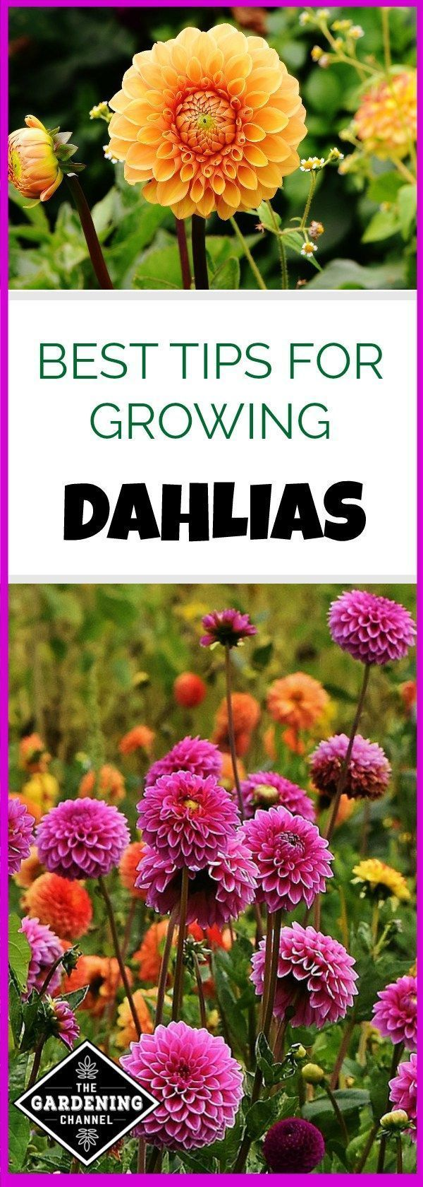 Are You Growing Dahlias Don T Miss These Gardening Tips Including Which Gardening Zone Growing Dahlias Gardening For Beginners Vegetable Garden For Beginners