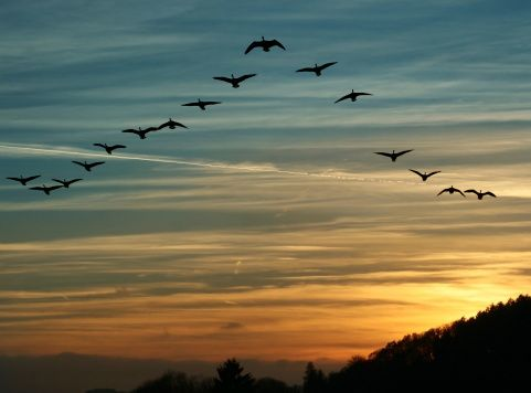 Nature S Version Of Social Collaboration When Canadian Geese Migrate They Fly In A V Formation To Move Quickly An Birds Flying Bird Migration Bird Pictures