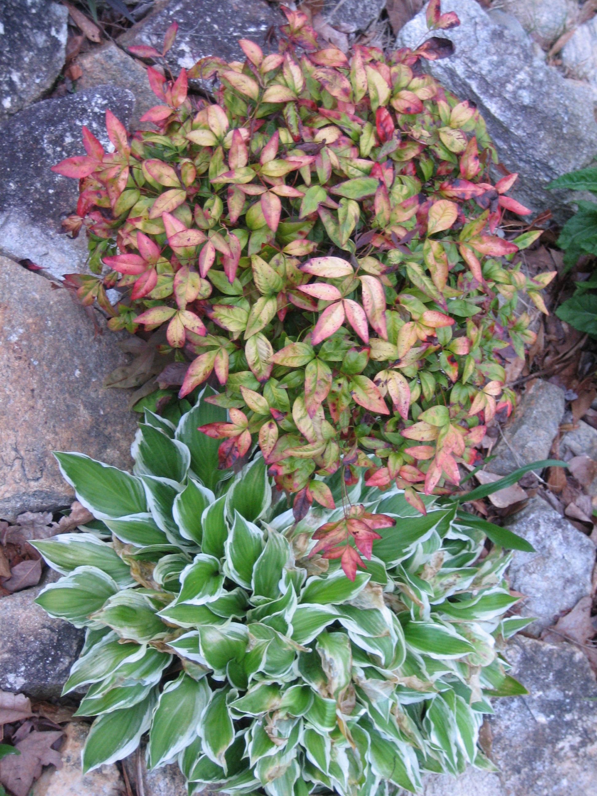 What Plants Go Well With Nandina Zef Jam