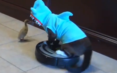 Cat in a Shark Costume on A Roomba Chases Duck | Shark ...
