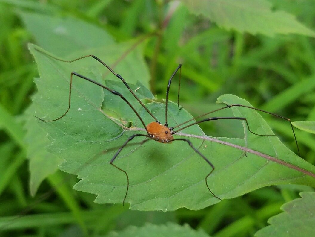 This Arachnid Is A Harvestman Not A Spider