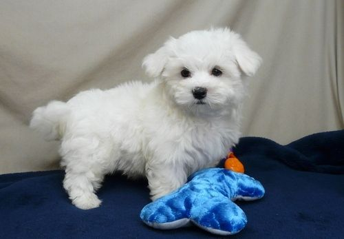 Adorable Tea Cup Maltese Puppies For Sale In Loughton Of United