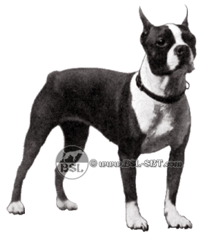 An Interesting History Of The Boston Terrier And Its Close Relative