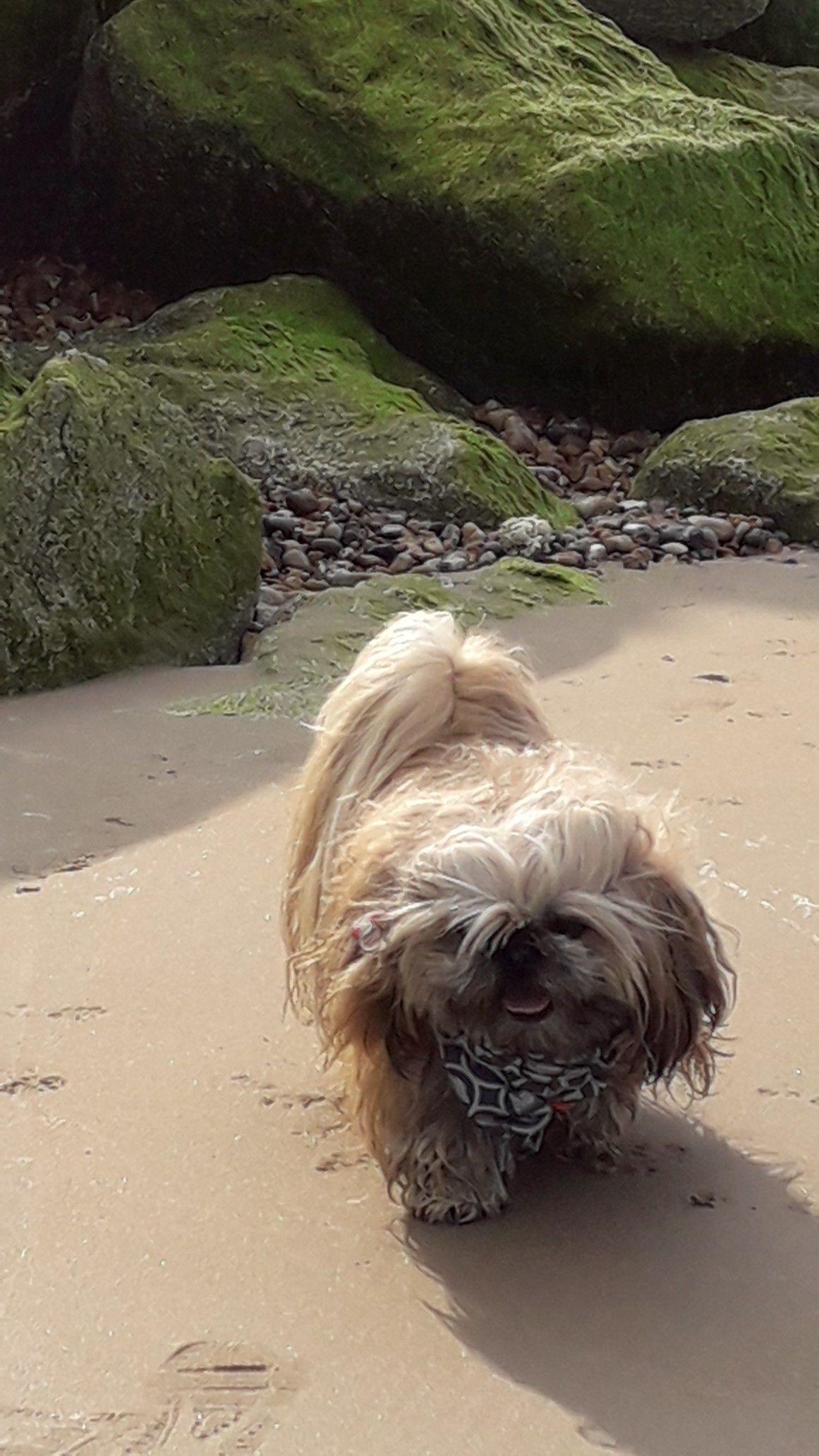Beach Babe Shih Tzu Dog Cute Puppies Dog Love