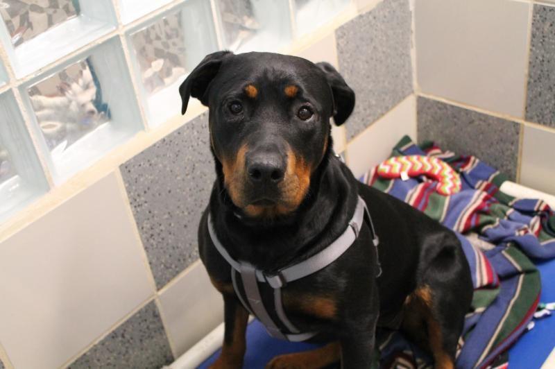 Adopt Beauty on Adoption, Rottweiler dog, Rottweiler