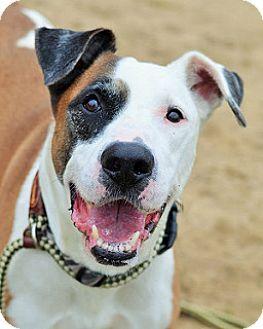 4 12 16 Philadelphia Pa American Bulldog Hound Unknown Type