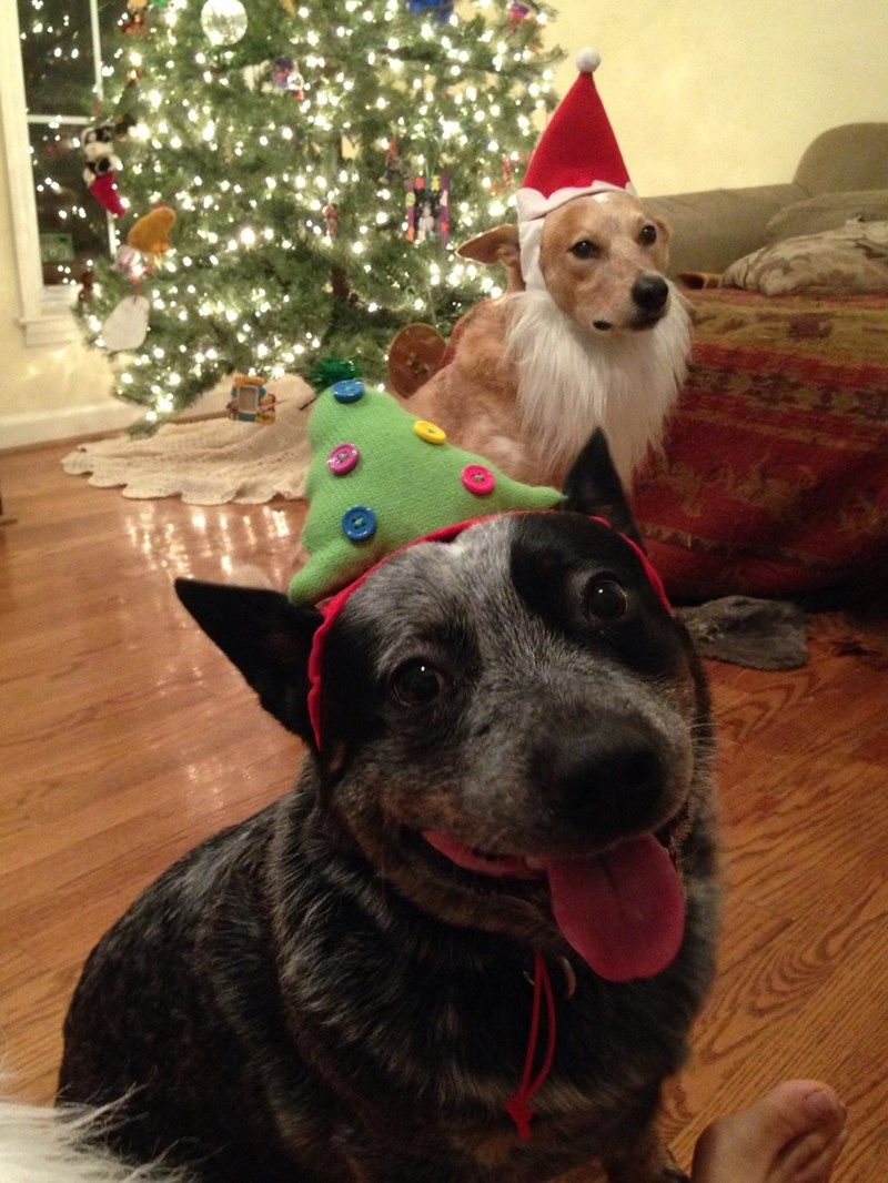 Not Everyone Loves Christmas... | Christmas dog, Cute ...