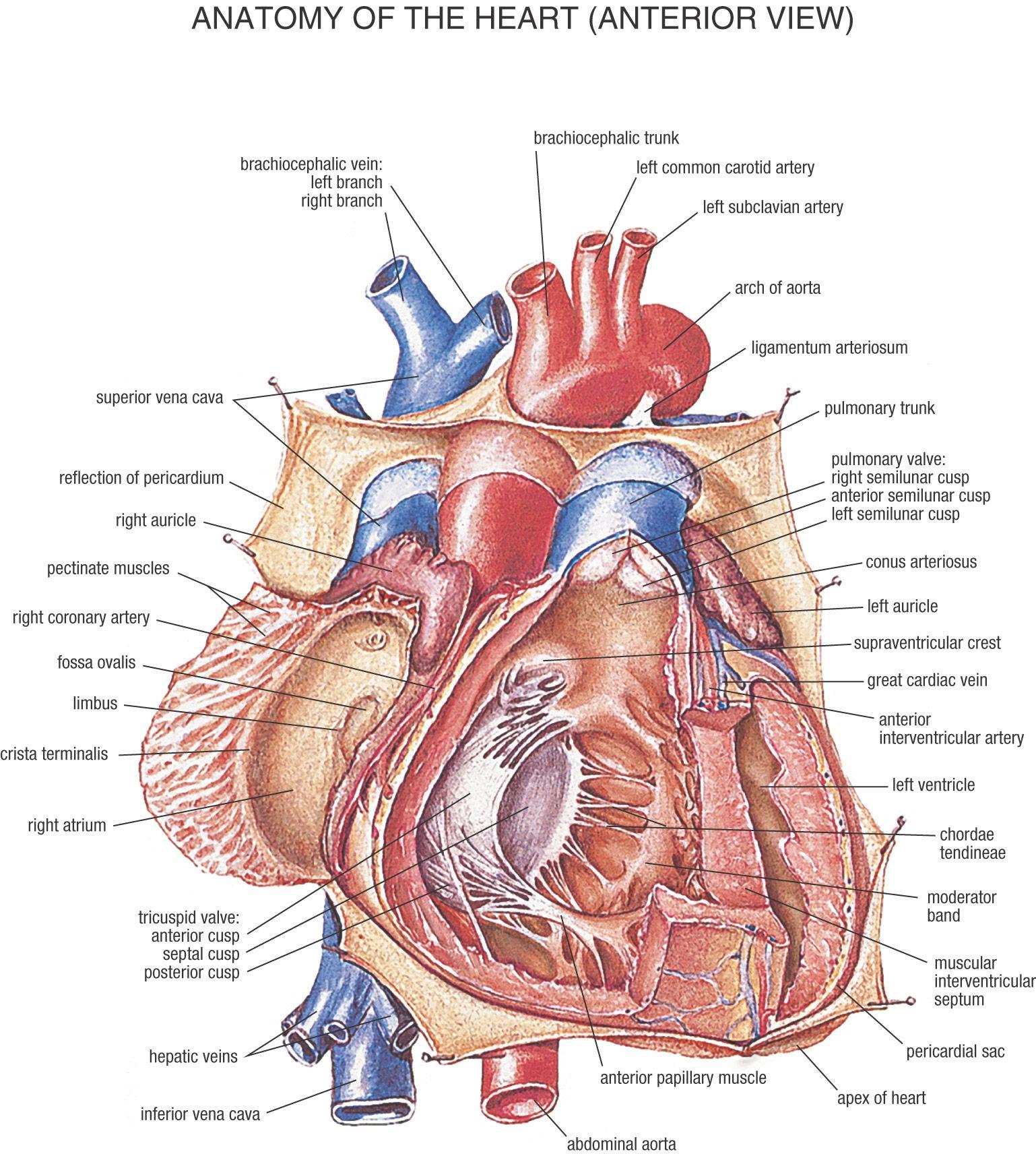 Heart anterior view | Anatomy | Pinterest | Anatomía, Anatomía ...
