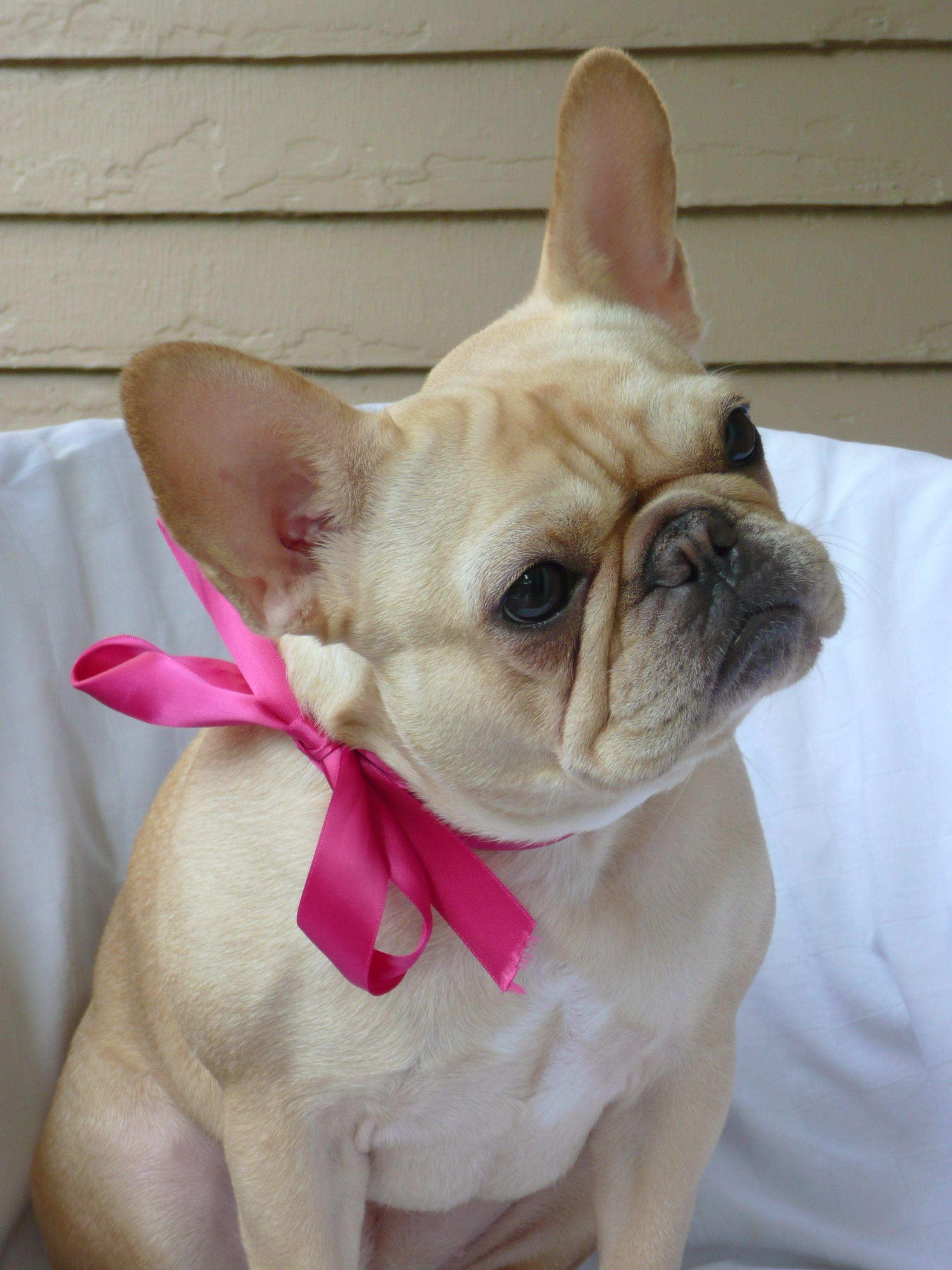 French Bull Dog Miss Petunia All Glammed Up Bulldog French