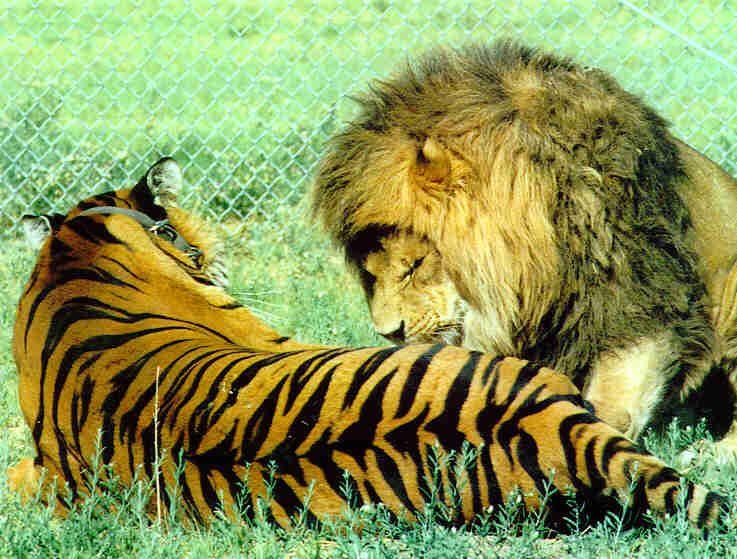Чем отличается тигр от льва: отличия, сходства.