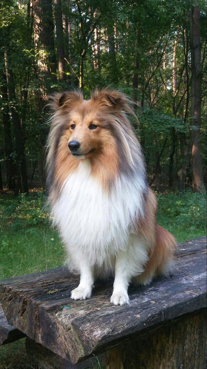 Find Out More On Energetic Shetland Sheepdog Puppy Exercise Needs