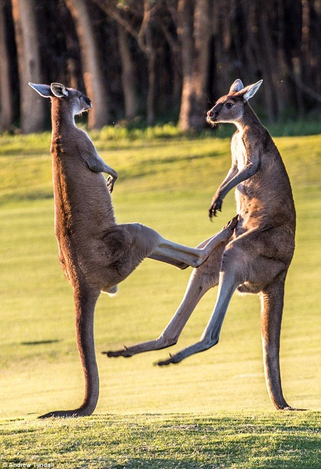 The moment two massive red kangaroos square up to each other