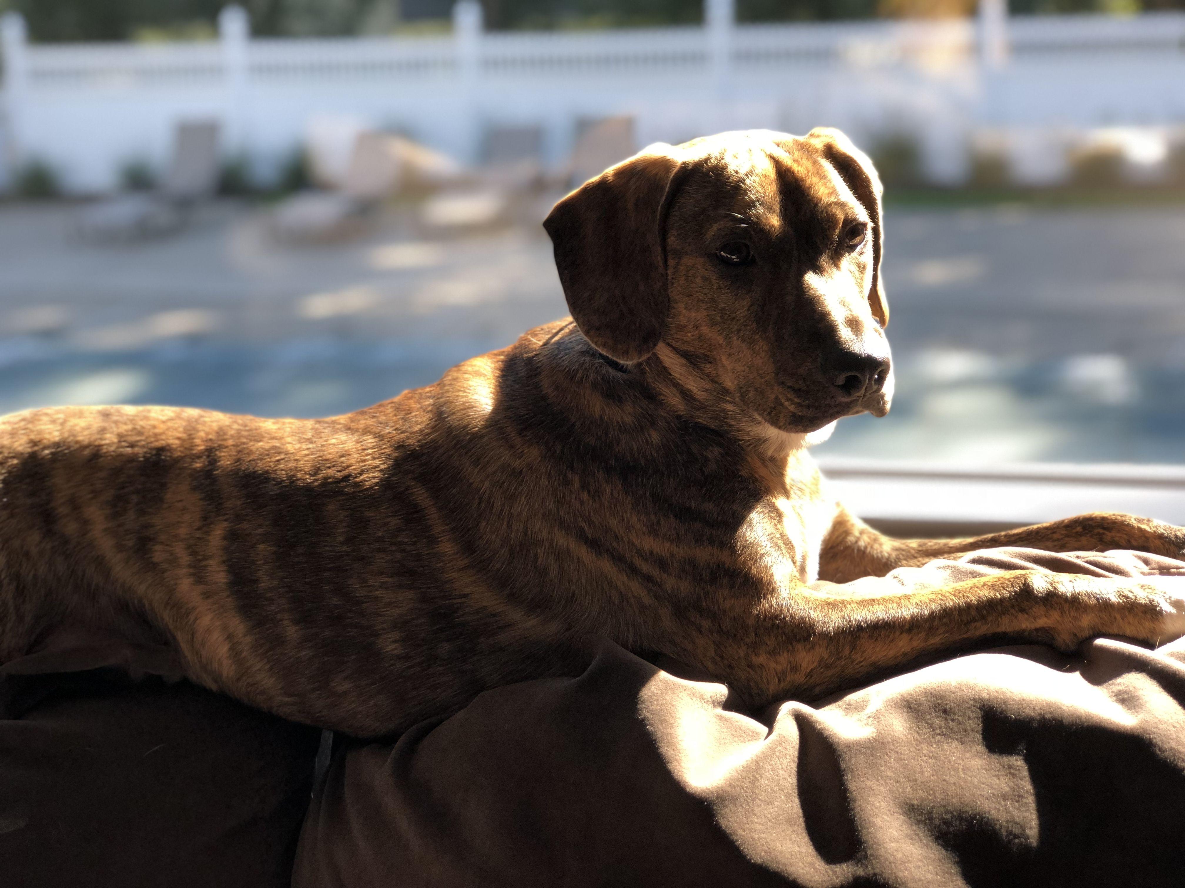 Pin By Melanie O Neill Dragone On Perry The Plotthound Retriever Dogs Labrador