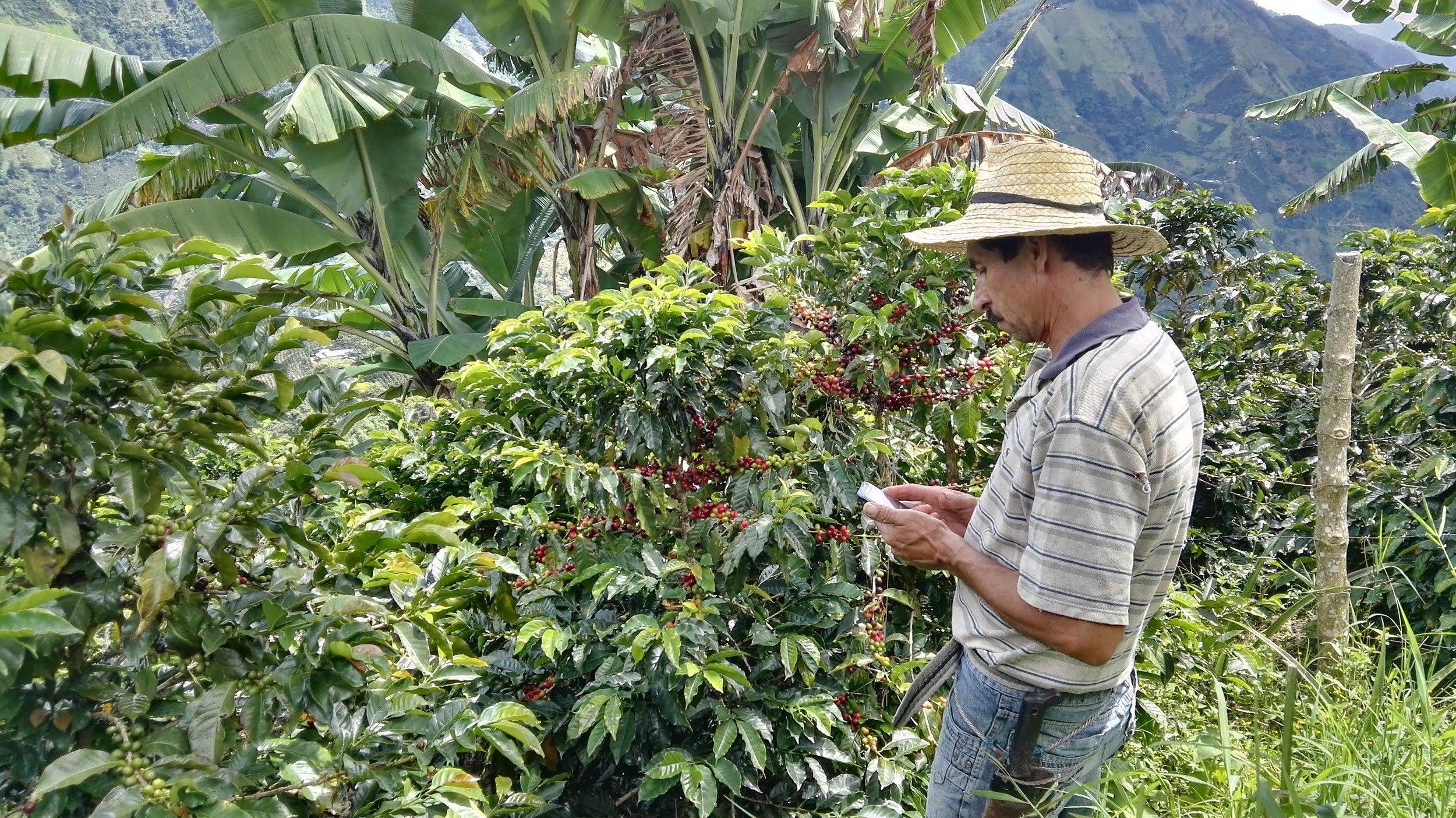 Can We Improve Efficiency Quality In Coffee Picking With