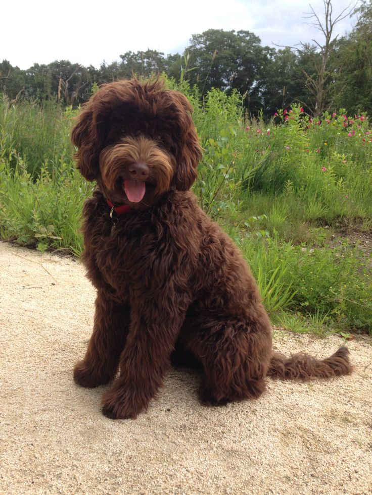 Tess Australian Labradoodle 6 Months Old Labradoodle Dogs Chocolate Labradoodle Labradoodle Puppy
