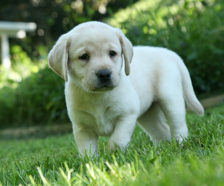 Healthy Labrador Puppy Available For Sale In 2020 Labrador Retriever Retriever Puppy Labrador Puppy
