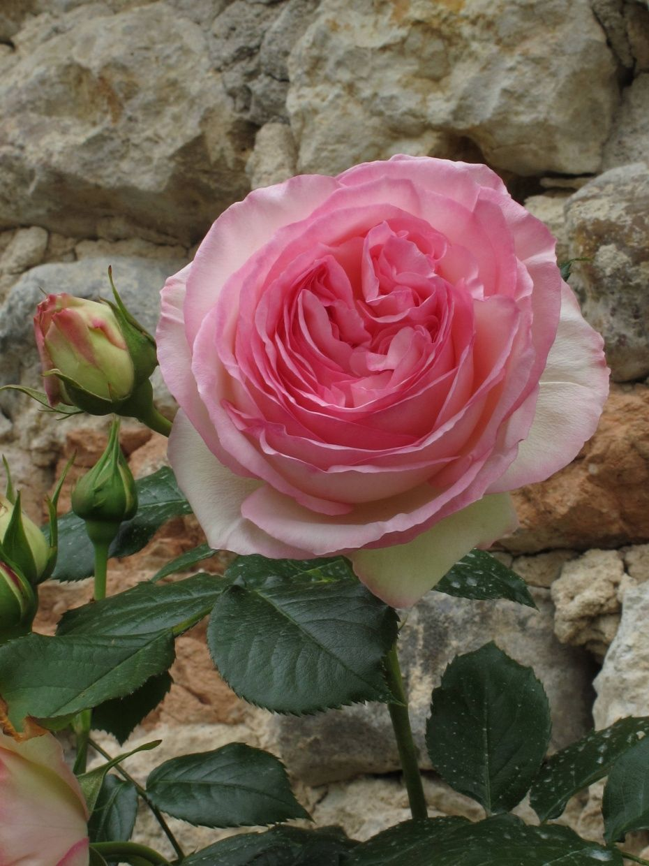 French rose thank you carolyne roehm flowers pinterest pretty flowers french rose thank you carolyne roehm mightylinksfo
