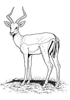 Antelope Coloring Pages Preschool And Kindergarten Giraffe