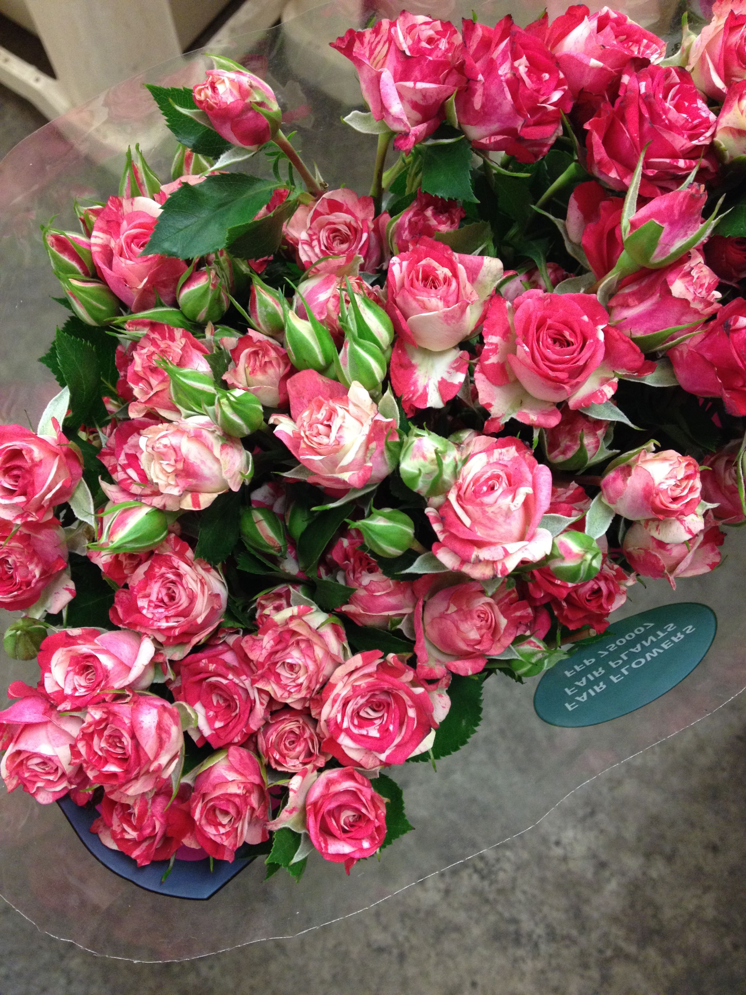 Cerise and white spray rose called \'Fireworks\' sold in bunches of 10 ...