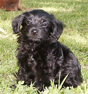 This Is A Poochi A Cross Between A Chihuahua And A Poodle