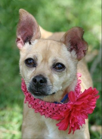 Daisy Doodles~ Chihuahua Mix • Adult • Female • Small Humane Society of Southeast Texas Beaumont, TX