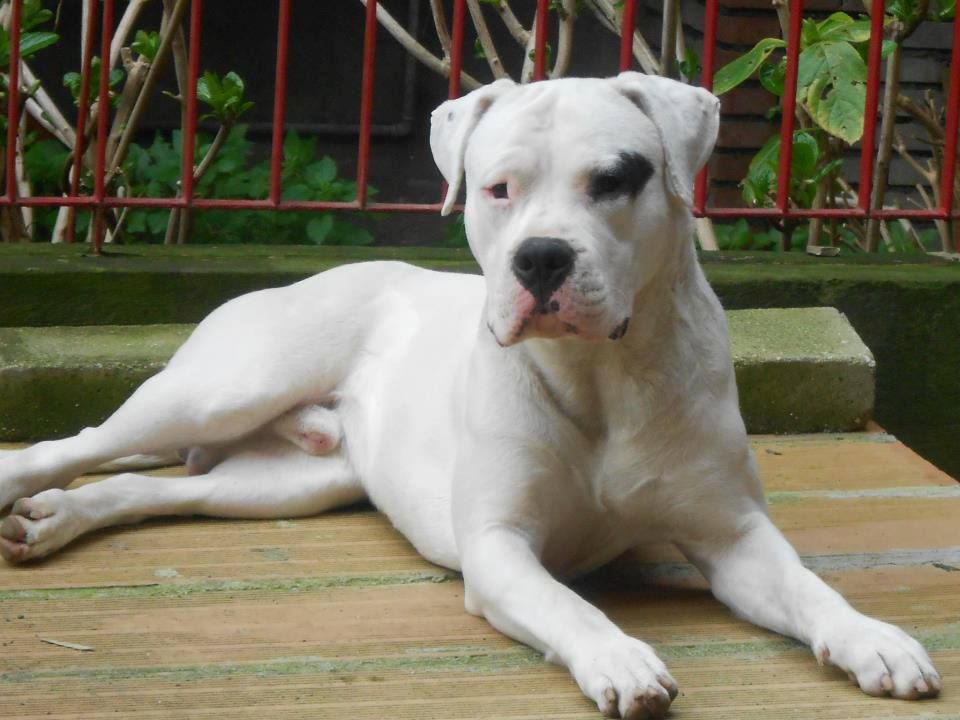 Dogo Argentino Cute Dog Costumes Cute Dogs Dog Trends