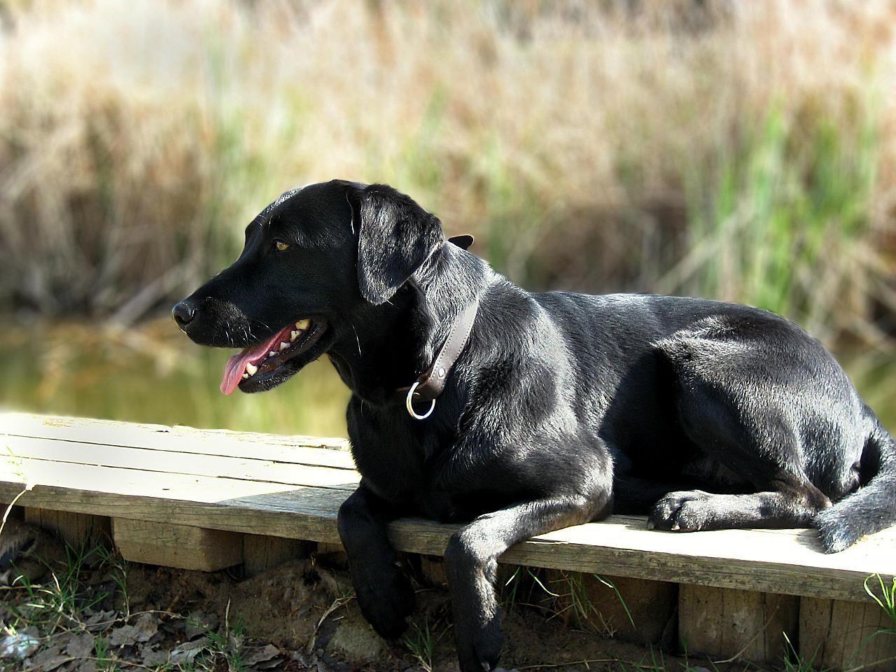 Labrador Estanque Black Labs Dogs Lab Dogs Labrador Retriever
