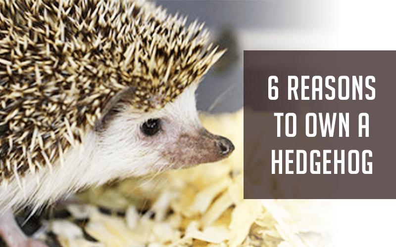 6 Reasons To Own A Hedgehog Hedgehog Pet Hedgehog Hedgehog Care