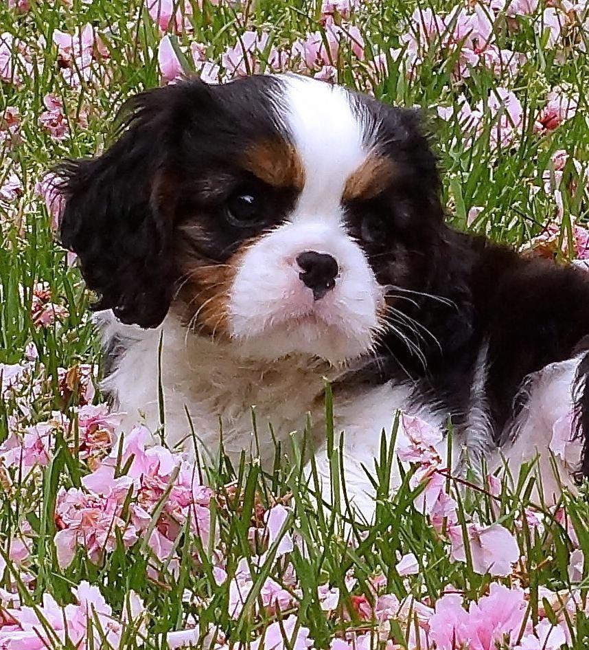 Pin By Jarah Wilk On Cavalier King Charles Spaniel Iii King Charles Cavalier Spaniel Puppy Cavalier Puppy King Charles Dog