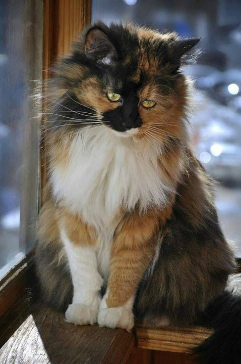 Calico beauty Chats et chatons, Chat tricolore, Chats