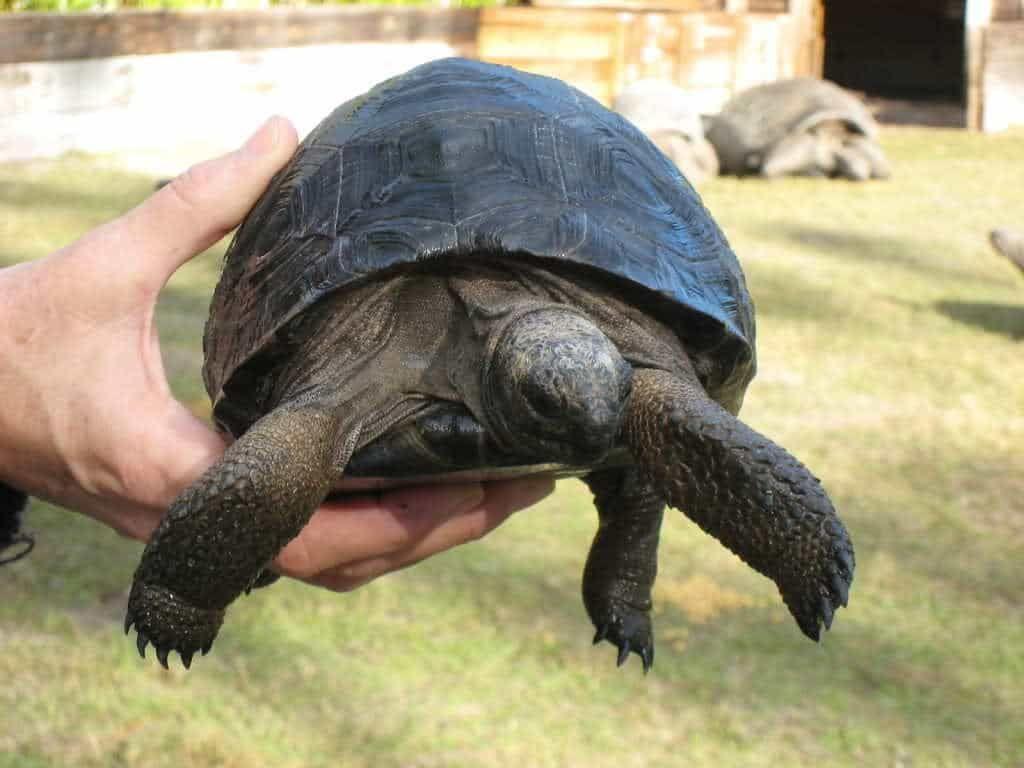 Aldabra tortoise   Tortoises, Tortoise as pets, Tortoise care
