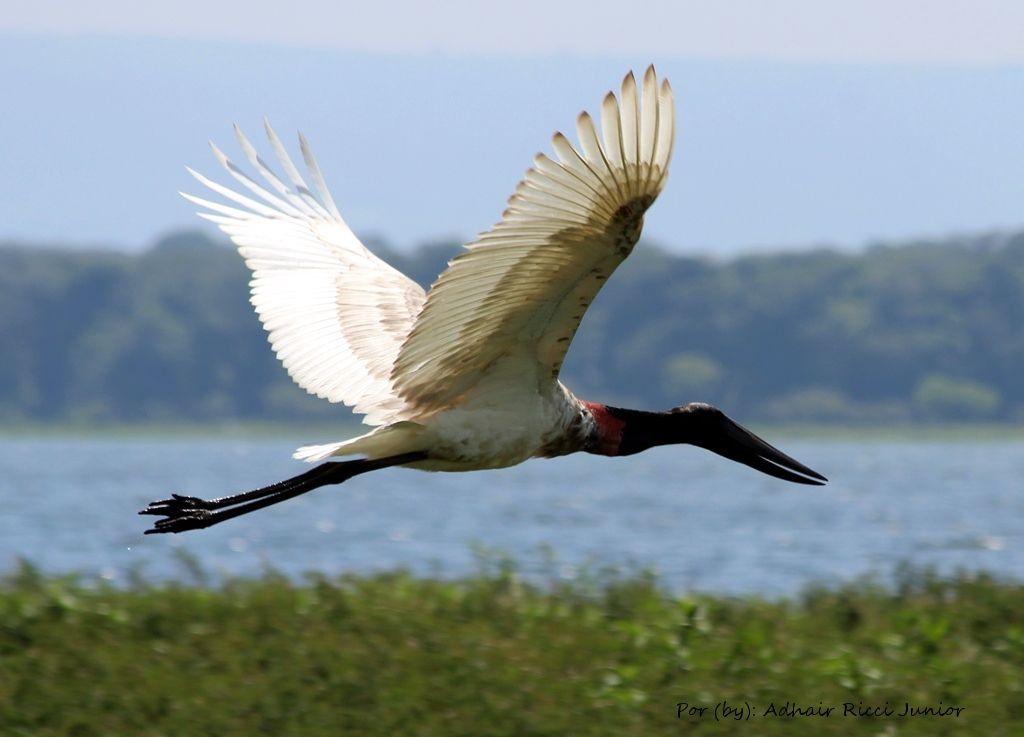 Aves e pássaros das bacias dos rios Piracicaba e Tietê.: Tuiuiu (Jabiru  mycteria) - Jabiru | Passaros brasileiros, Pássaros coloridos, Animais