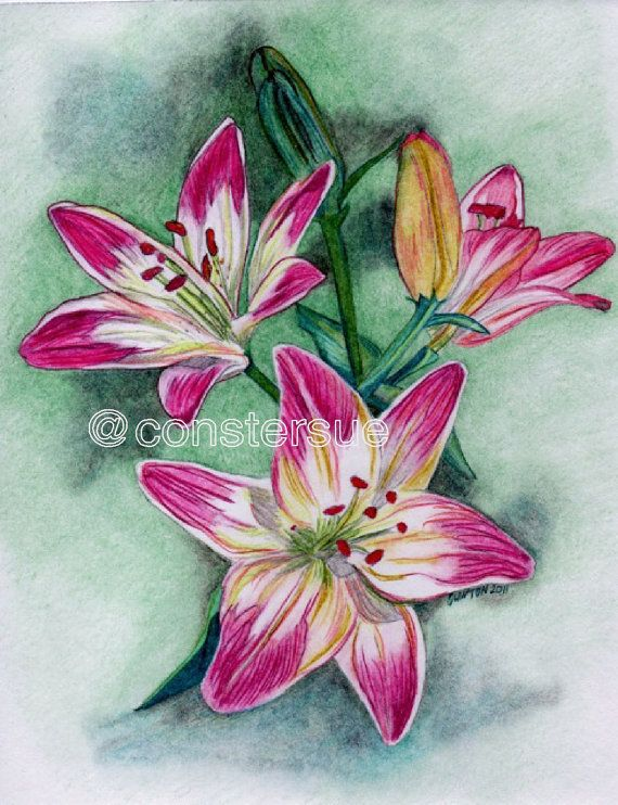 Pink Lilies Pink Lily Original Color Pencil Drawing 8x10 Inch