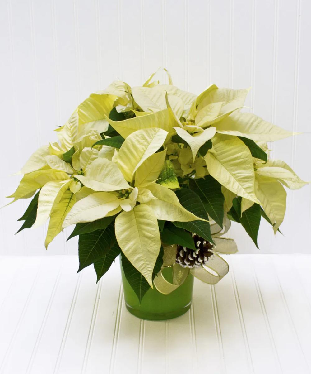 White Poinsettia Plant Poinsettia Plant Flower Delivery Blossom Flower