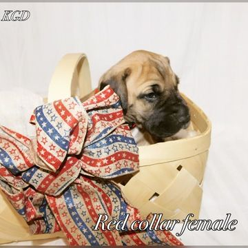 Litter Of 9 Great Dane Puppies For Sale In Neenah Wi Adn 32300