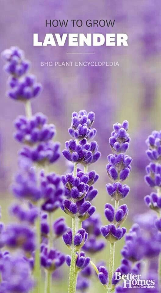 Lavender Growing Lavender Plants Garden