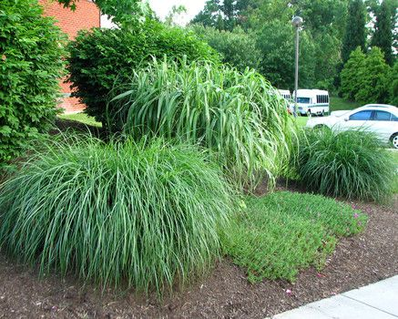 Ornamental grass on either side of driveway ornamental for Plants that require no maintenance