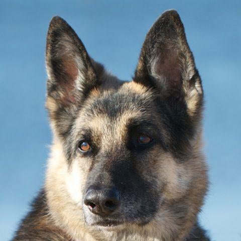 Skylark Retired Guide Dog For The Blind Guide Dog Pets Old Dogs