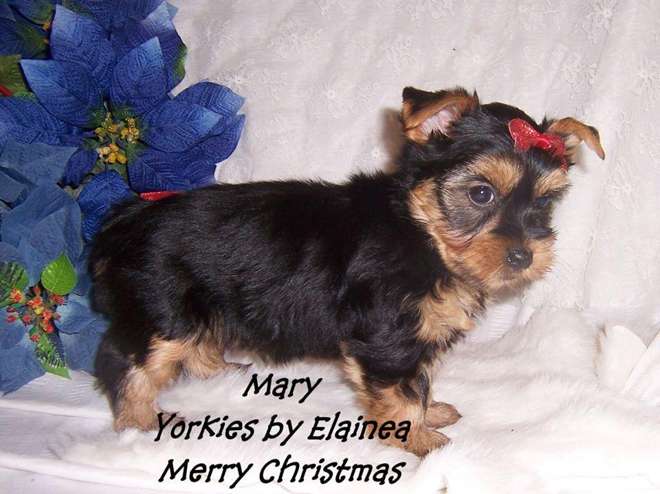 Tiny Yorkie Puppy For Sale In Arkansas Yorkie Yorkie Puppy Toy Dog Breeds
