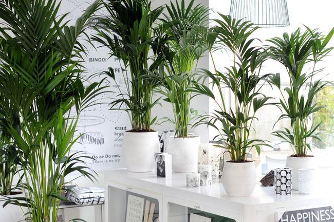 Palme Wohnzimmer ~ Grow tropical indoor plants tropical plants plants and gardens