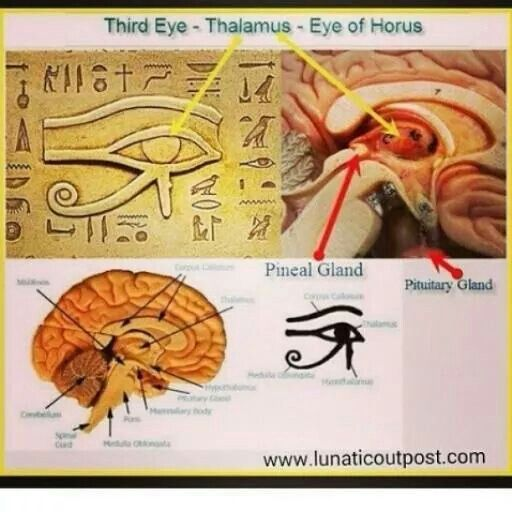 Penial gland | Pineal gland, Eye of horus, Third eye