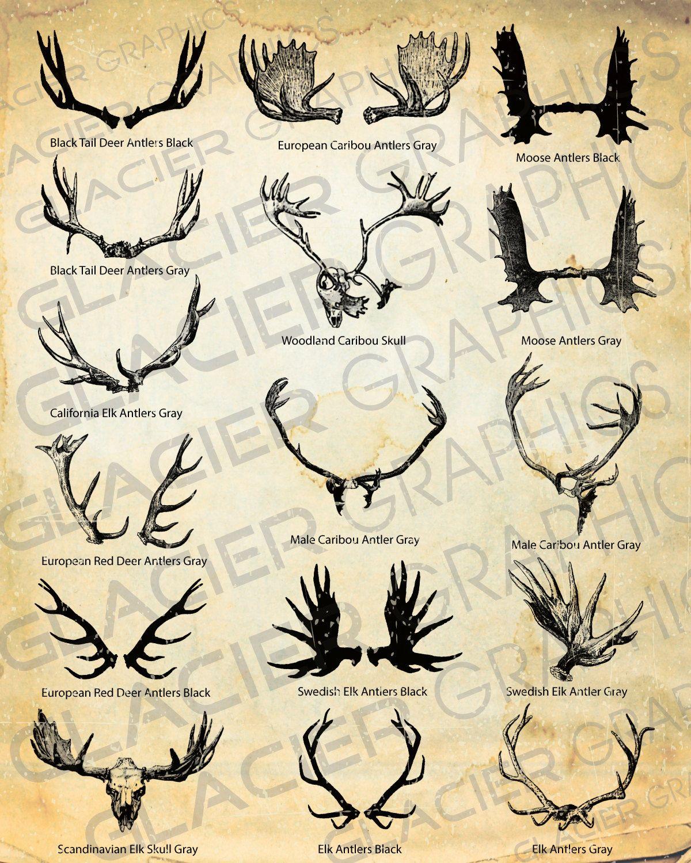 Moose Antler Tattoo : moose, antler, tattoo, Vintage, Caribou, Moose, Antler, Skull, Illustration,, Drawing,