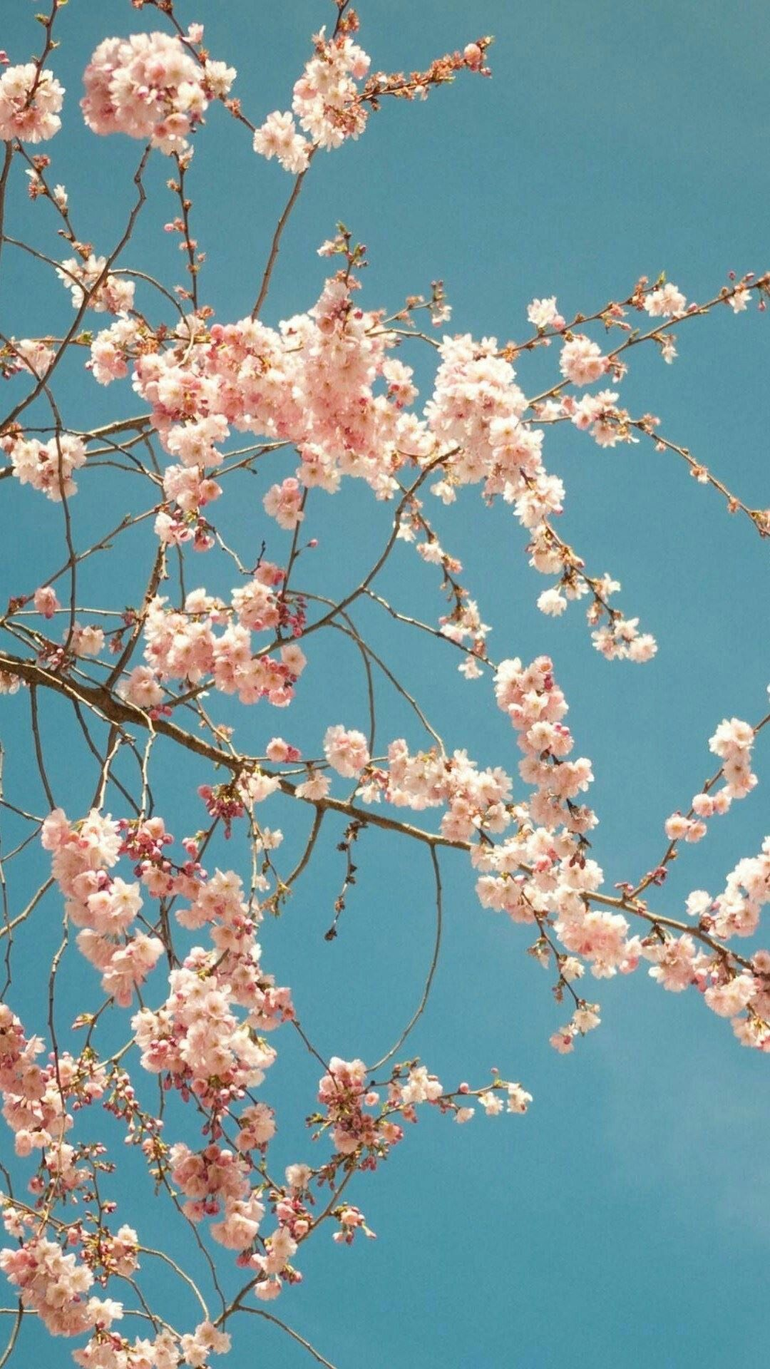 Simple Wallpaper Night Cherry Blossom - 6bf6c315c5a9eabe15f9e646db44de0a  2018.jpg