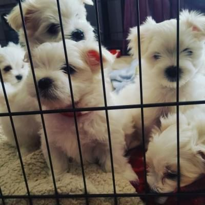 Tk Maltese Puppies For Sale Dogs Buy Or For Sale Price Maltese Puppies For Sale Maltese Puppy Maltese Dogs